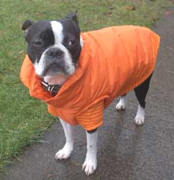Boston Terrier with raincoat