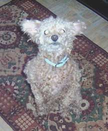 toy poodle trick