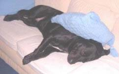 dog with pillow