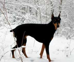 doberman in the snow