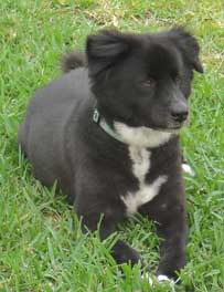 border collie chow mix
