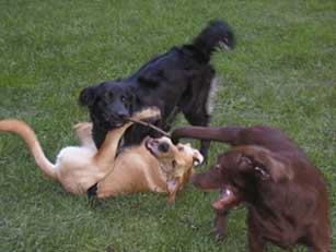 dogs romping
