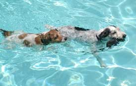 terriers swimming